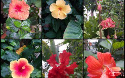 La floraison des hibiscus !