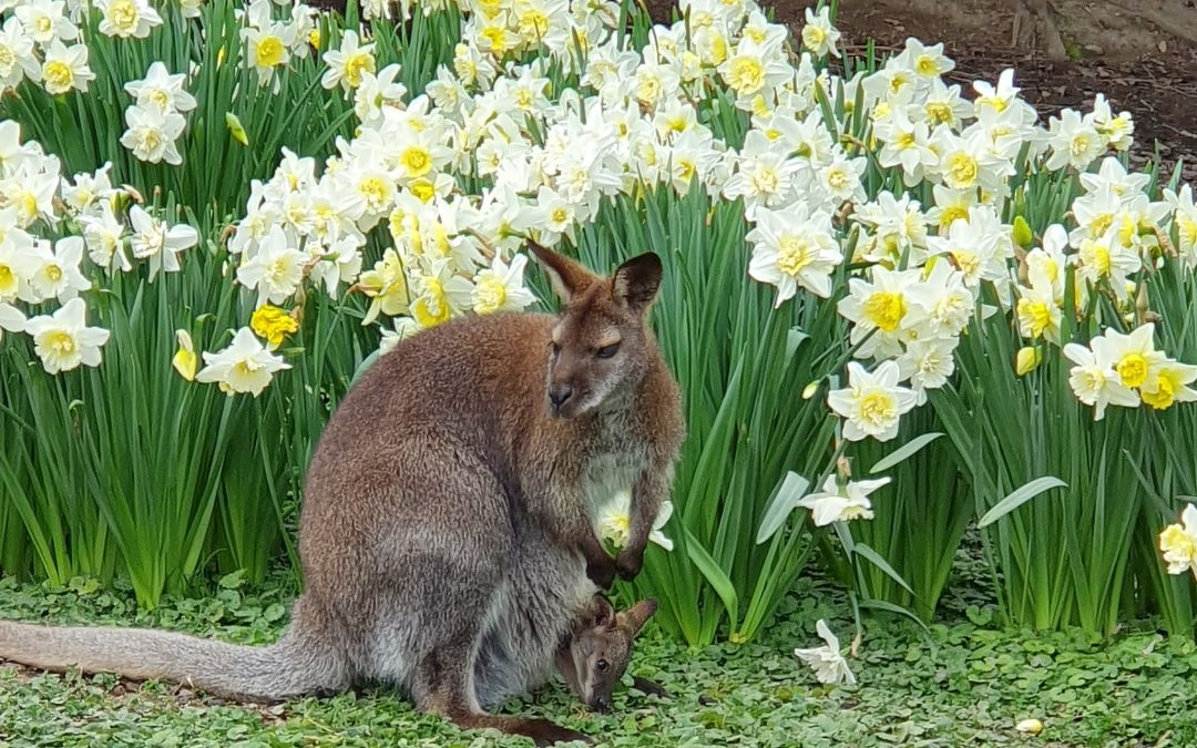 Naissance d'un petit wallaby